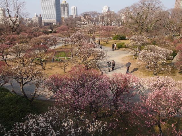福岡城梅の花2014上1