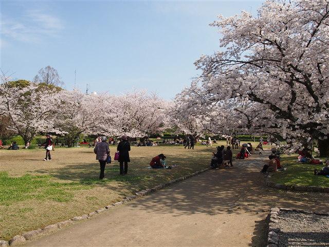 第5回 福岡城さくらまつり桜20