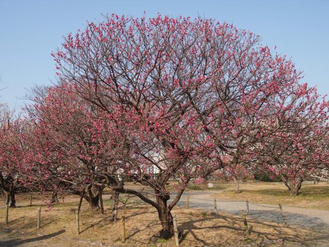 福岡城梅の花2014下10