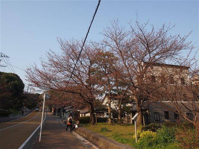西公園桜2014-3