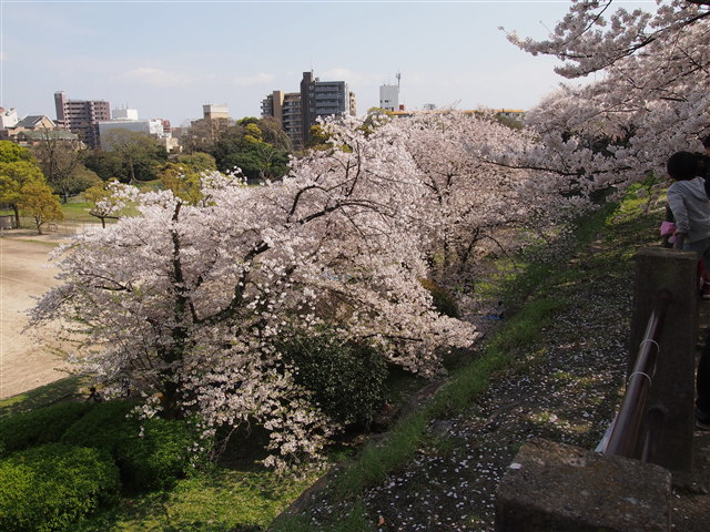 第5回 福岡城さくらまつり桜7