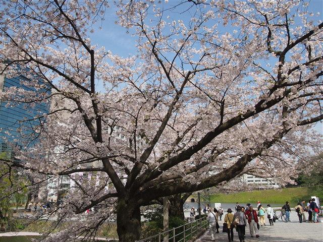 第5回 福岡城さくらまつり桜3