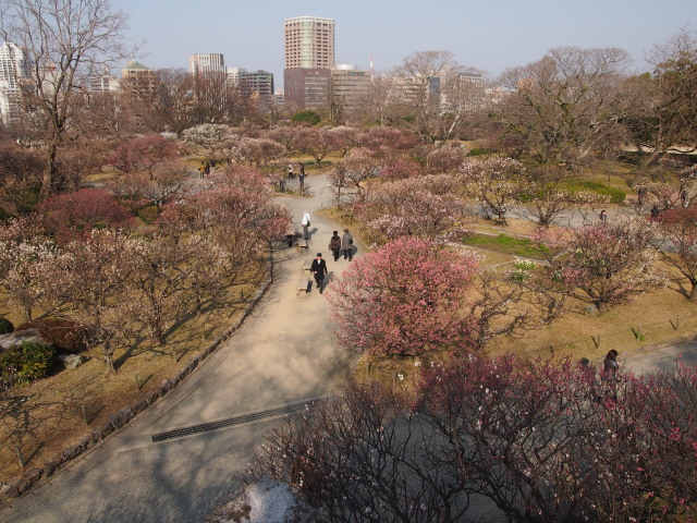 福岡城梅の花2014上2