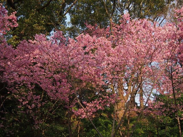 西公園桜2014-12