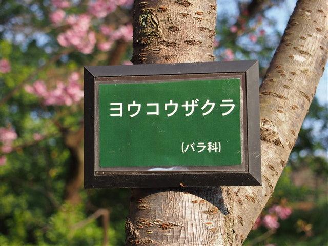 西公園桜2014-11